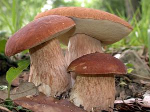 Ciupercile săţioase